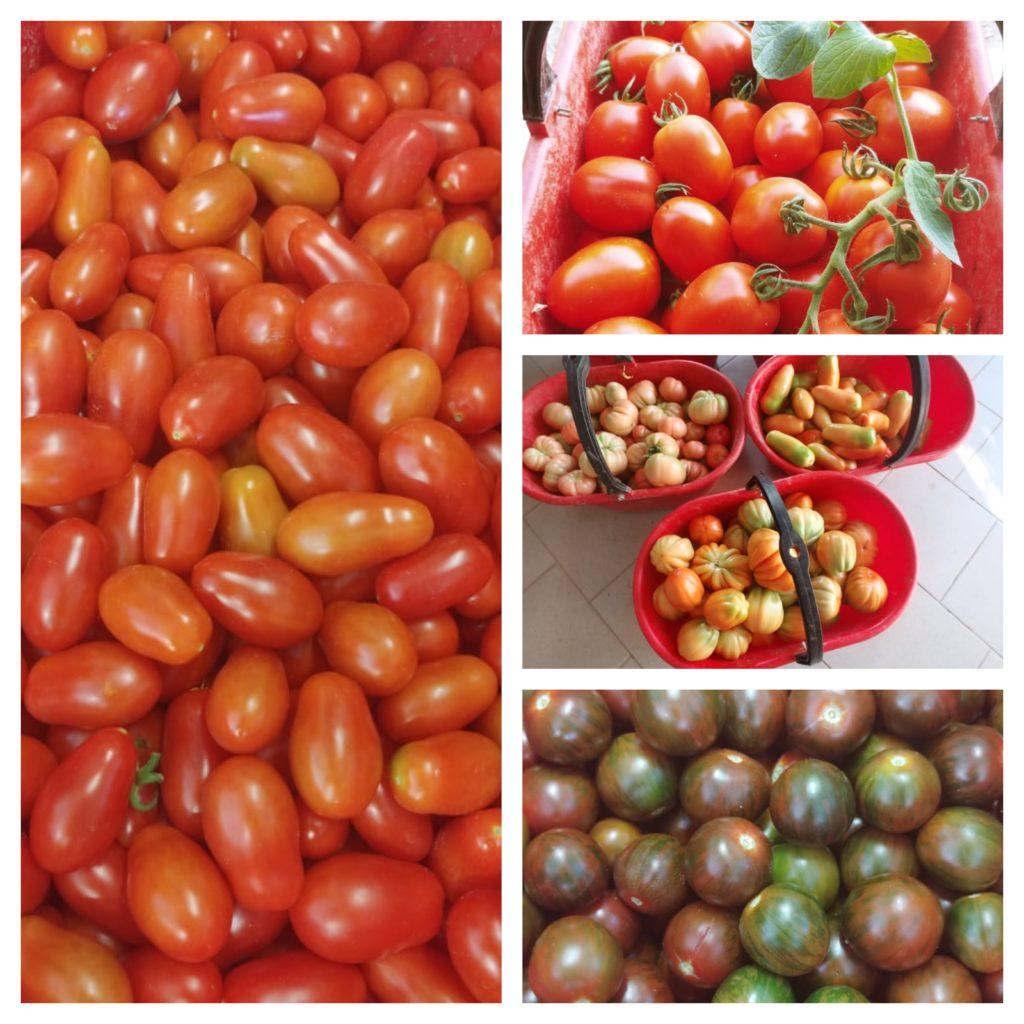 I pomodori : storia, proprietà e varietà